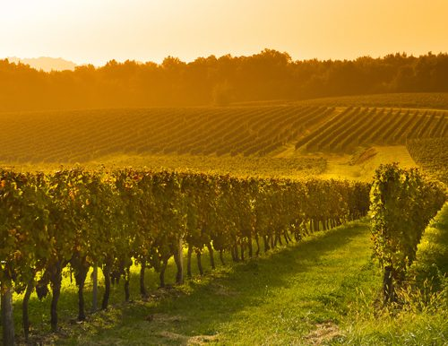 A vineyard picture taken by someone from a fundraising auction trip